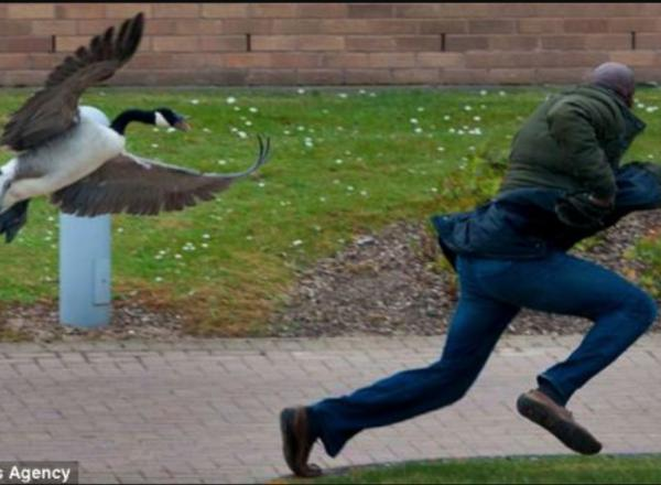 Photo of a goose chasing a student