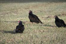 Photo of three vultures