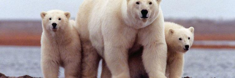 A polar bear keeps close to her young along the Beaufort Sea in the Arctic National Wildlife Refuge in Alaska