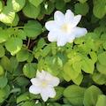Close up of white flower and green leaves in outside garden at Belle Isle Conservatory