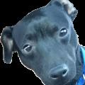 Photo of a cute black dog named Ekko